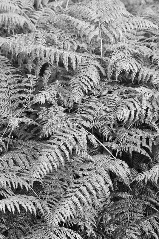 Bracken in black and white, Scotland