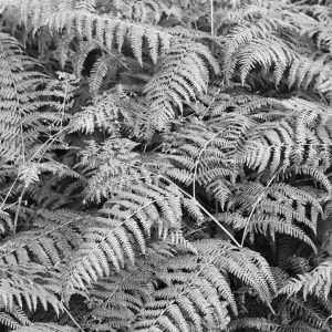 Bracken in black and white, Scotland