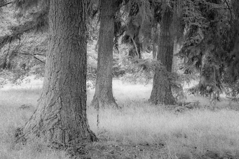 Woodland in mono