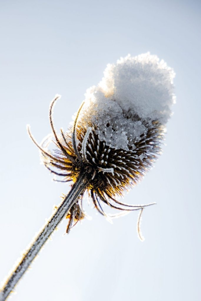 Teasel in the snow