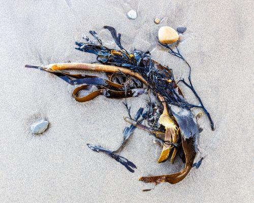 Kelp and pebbles
