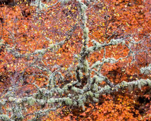 Lichen in front og beech leaves