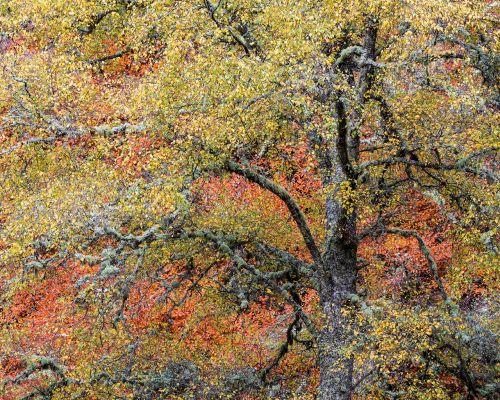 Beech and birch
