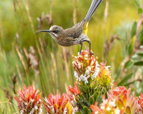 Cape Sugar Bird