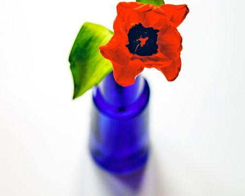 Tulip in blue vase