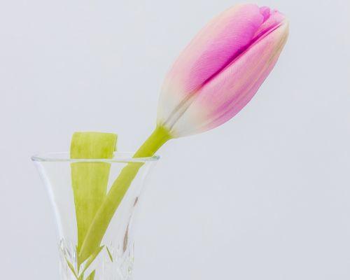 Tulip in glass vase