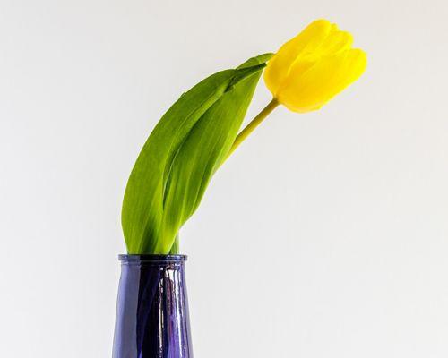 Tulip in blue vase - close up
