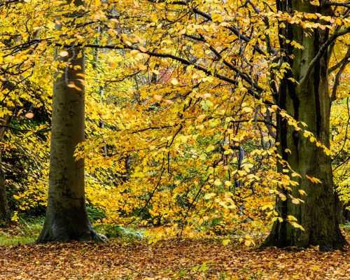 Autumn Leaves at Thorp Perrow