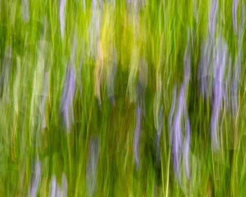 Bluebells and grass (ICM)