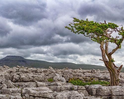 Tree on Limestone Pavement