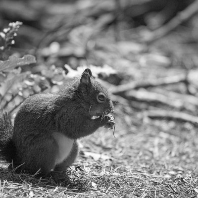 Red Squirrel at Formby Black and White Landscape Photograph Landscapes Photography Black and White