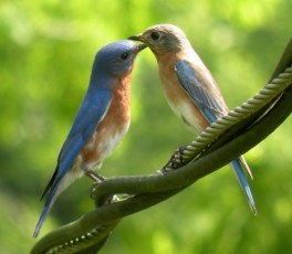 Mommy and Daddy Bluebird