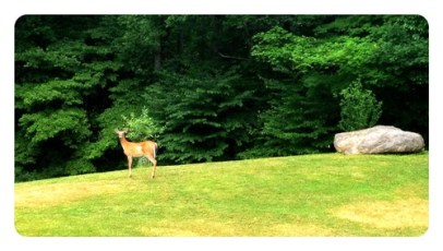 Oh Dear! First deer I have seen in our yard