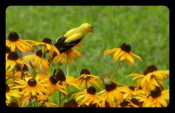 Yellow bird loves these flowers in our yard