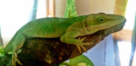 Daniel's green lizard just chilling out...