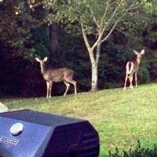 Deer for Dinner