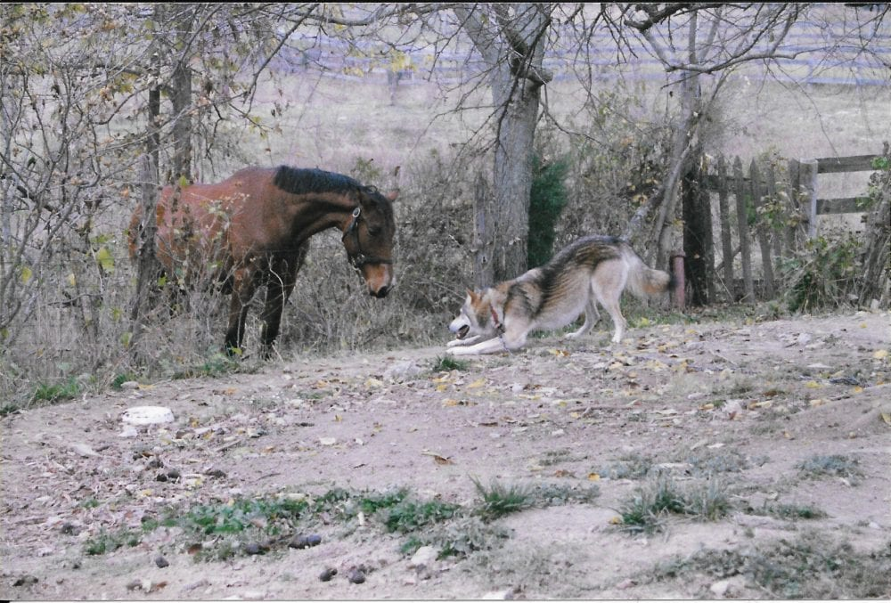 Barn Buddies The Yearling And The Wolf Horse Racing