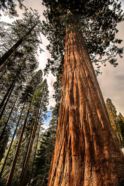looking up at sequoia tree