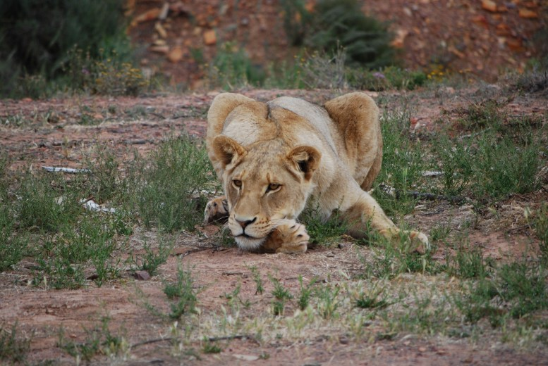 A lioness takes it all in