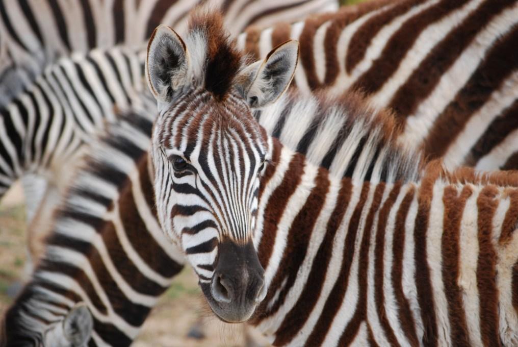 A young zebra