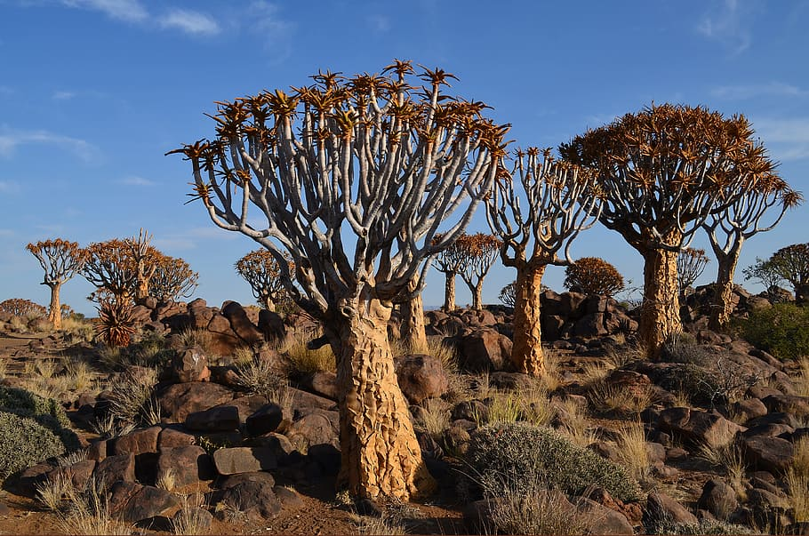 African Kokerboom Trees