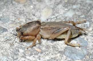 Northern Mole Cricket (Neocurtilla hexadactyla), which prefers loose, sandy soil usually found around streams or ponds.
