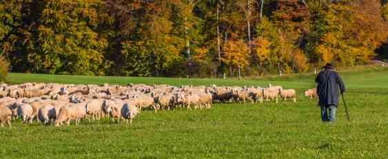 Schafe im Herbst auf der Alb