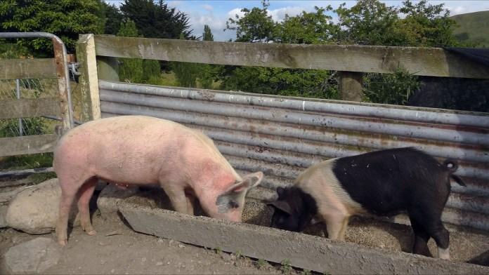 Agricultura Familiar favorecía el control de la cría de cerdos.