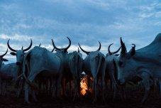 A medida que se pone el sol y las vacas regresan al campamento, los pastores de Fulani prenden incendios en Feji, Nigeria. En los primeros seis meses de este año, los enfrentamientos entre granjeros y pastores mataron a aproximadamente 1,300 personas, seis veces más que en la guerra con el grupo extremista islamista Boko Haram en el mismo período. Foto: Nigeria Herdsmen.