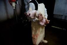 Cerdo en un matadero español.