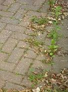 Block paving with no block paving sealer applied can be a good place for weeds to grow
