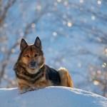 99 Best Female German Shepherd Names