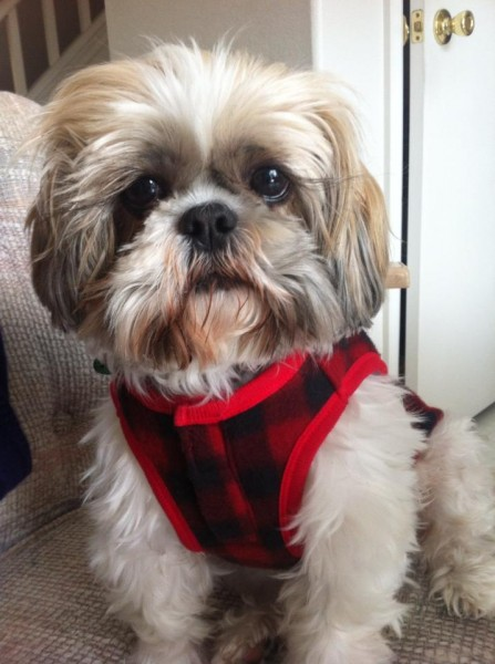 Shih Tzu Photos From Christmas Contest From Lucy Vu