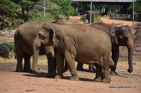 Sierociniec dla słoni w Pinnawala 1