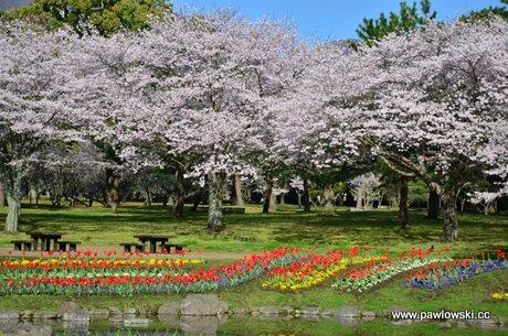 Hanami - japońskie święto kwitnącej wiśni (sakura)
