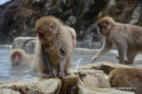 Wild Snow Monkey Park