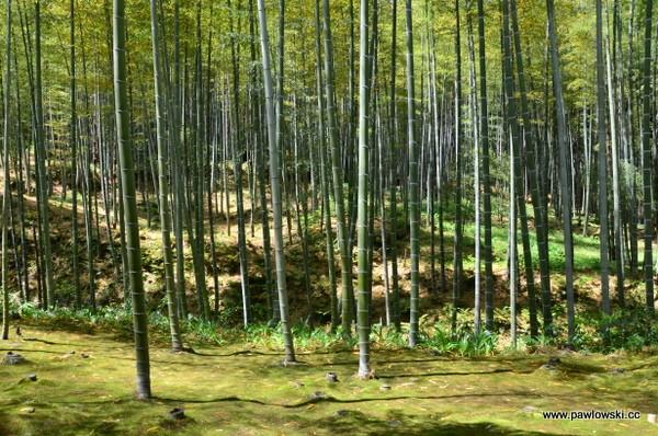 Las bambusowy