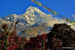 Rododendrony w Himalajach
