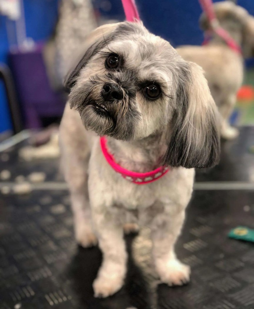 A well groomed dog looks at the camera with a sideways glance