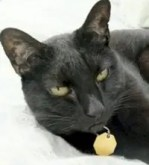 Bagheera the Diabetic Cat wants you to meet Siouxsie