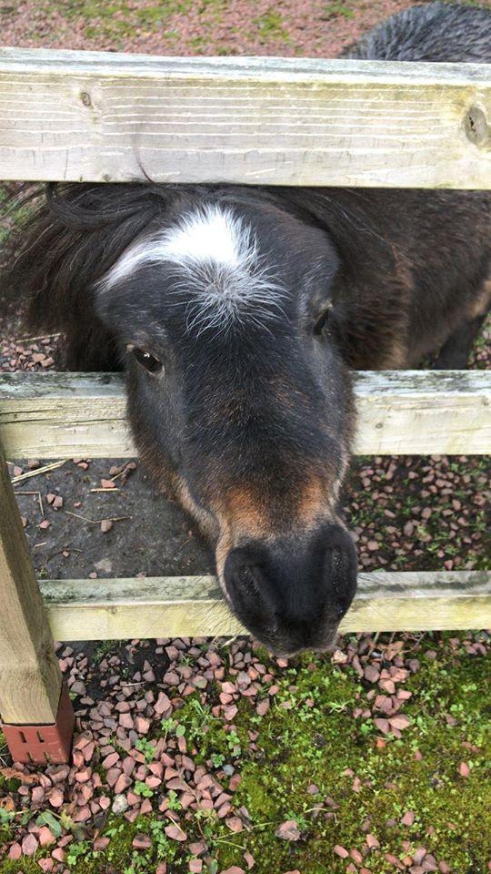 Nugget the Shetland Pony