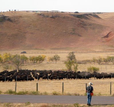 The Annual Bison Round Up in Custer State Park South Dakota