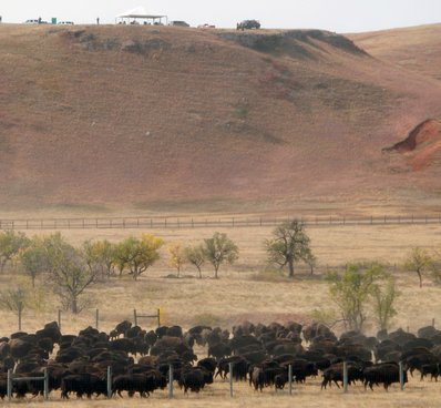 The bison heading into the corrals at the Custer State Bison Round Up in South Dakota