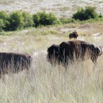 Boomer's 1st Trip: Day 2 – National Bison Range & Flathead Lake Montana
