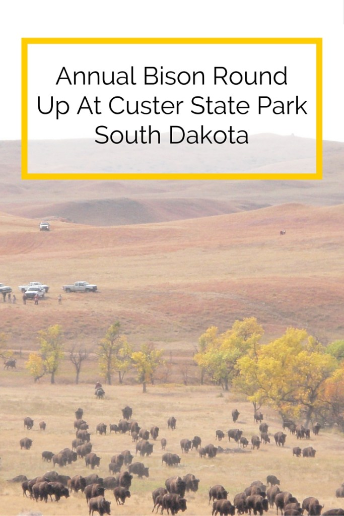 annual bison round up custer state park south dakota