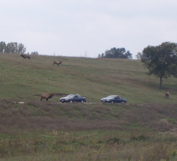 Elk at Lee G Simmons Conservation Park & Wildlife Safari