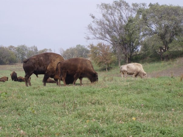 Bison at Lee G Simmons Conservation Park & Wildlife Safari