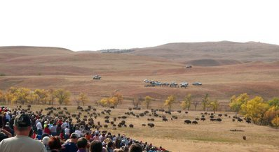 Annual Bison Round Up in Custer State Park South Dakota