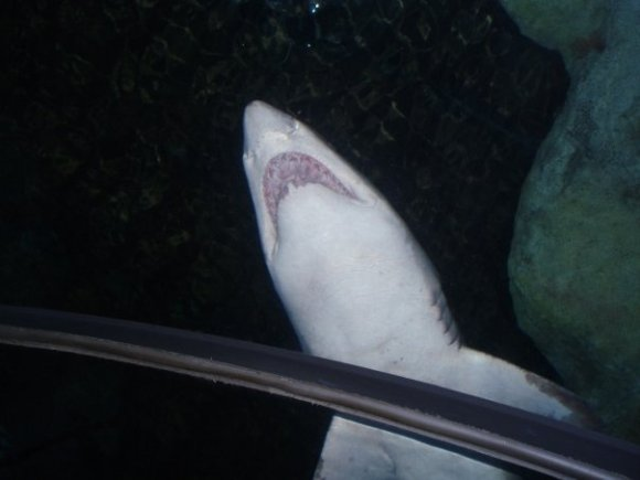 a shark at Henry Doorly Zoo and Aquarium