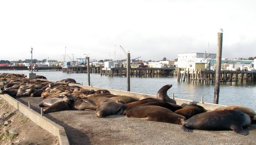 Seals and Sea Lions near the Chartroom Restaurant, Crescent City California